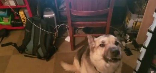 perro raspberry pi 520x245 - Detecta los ladridos de tu perro y tranquilízalo mediante una Raspberry Pi