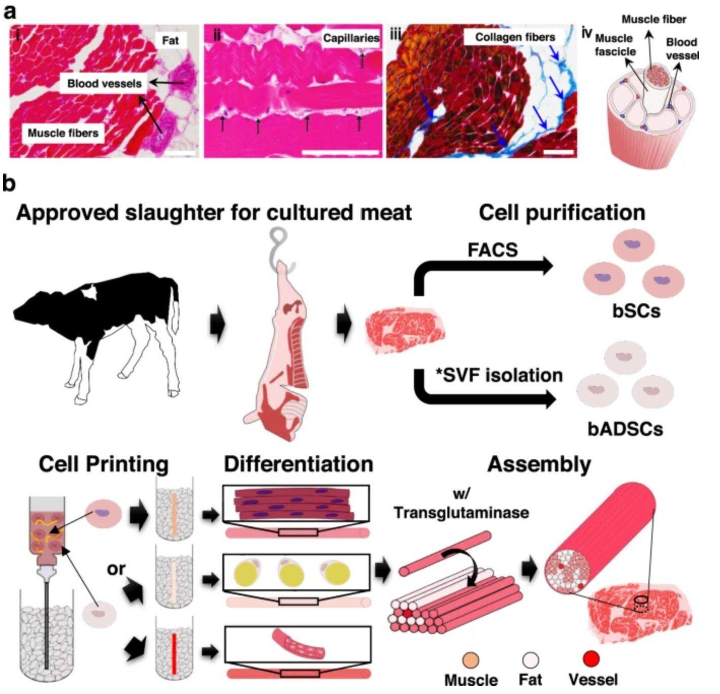 diagramas sobre el proceso de creacion de un trozo - Científicos crean carne wagyu a partir de la impresión 3D
